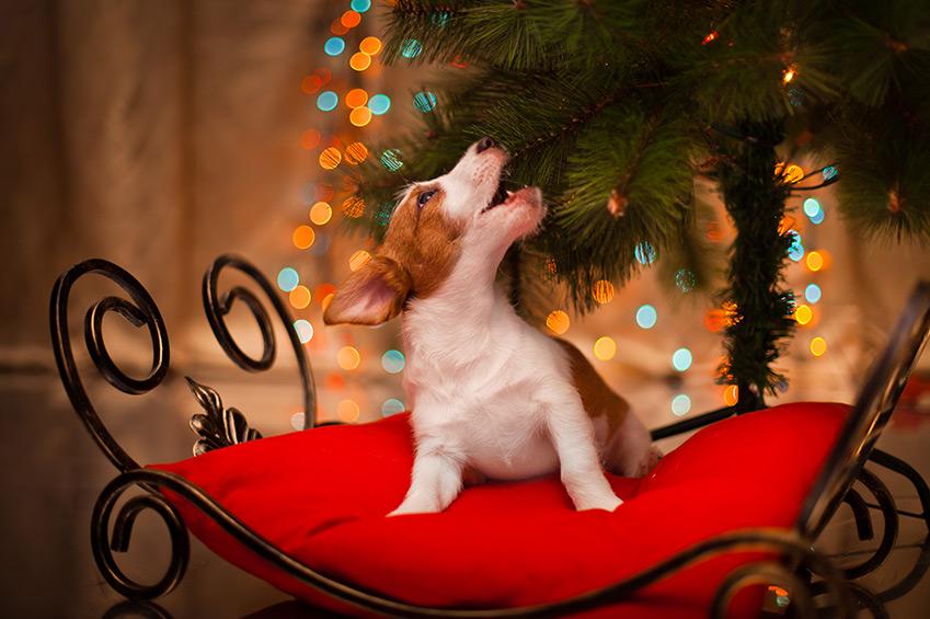 Welpen unterm Weihnachtsbaum