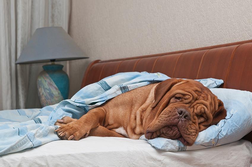 Das offene Geheimnis: Der Hund im Bett