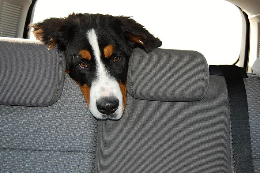 Sommer, Auto, Hitze, Hund