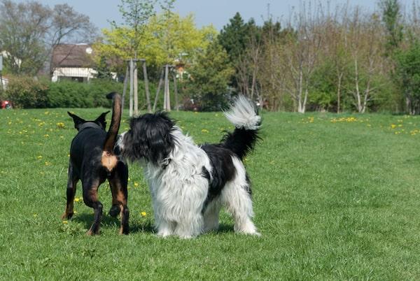Warum beschnuppern Hunde ihre Hinterteile