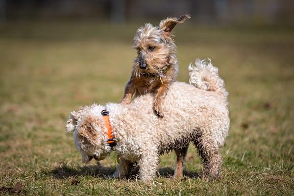 Warum reitet ein kastrierter Hund auf