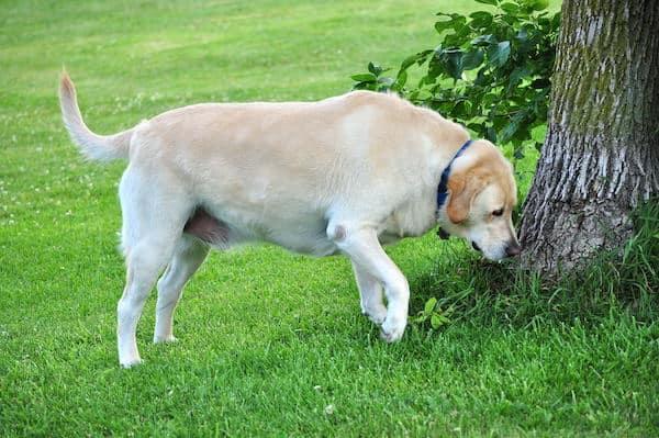 Warum schnüffelt ein Hund, bevor er sein Geschäft macht