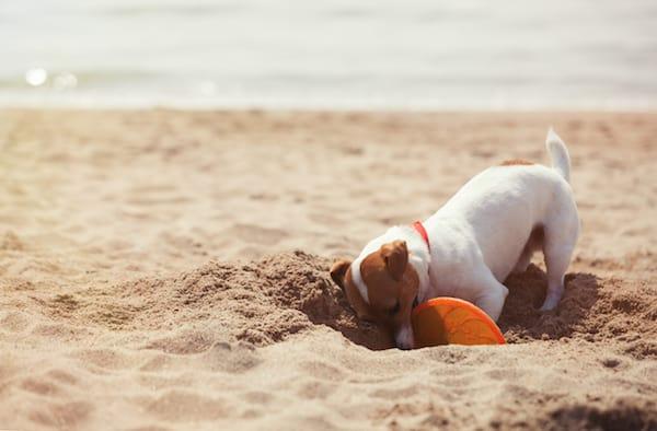 Hund vergräbt Spielzeug