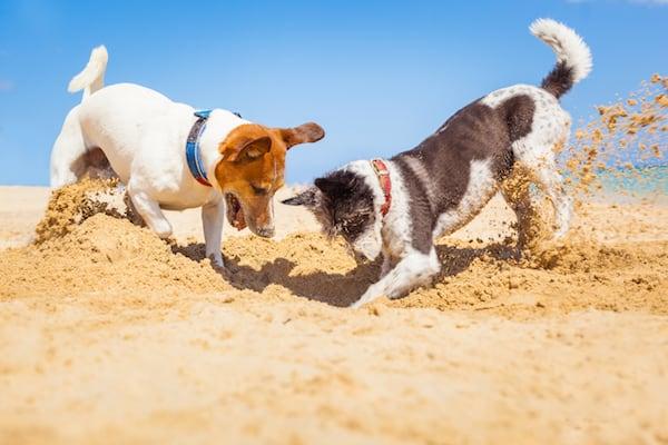 Warum buddeln Hunde Löcher