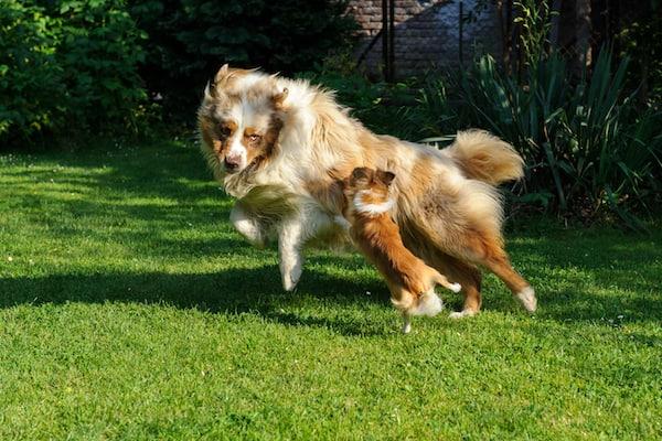 Warum attackieren kleine Hunde größere Hunde