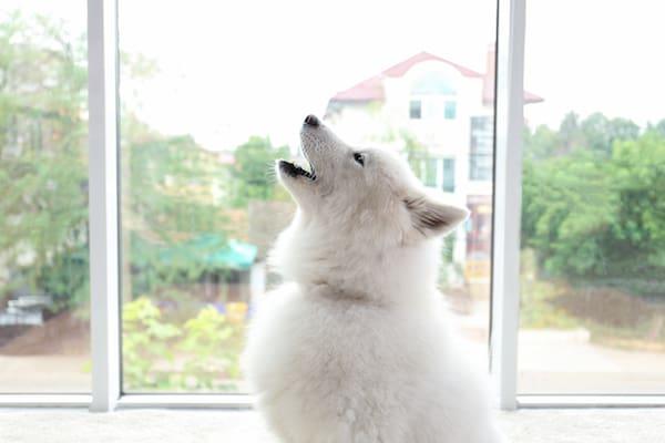 Warum heulen Hunde