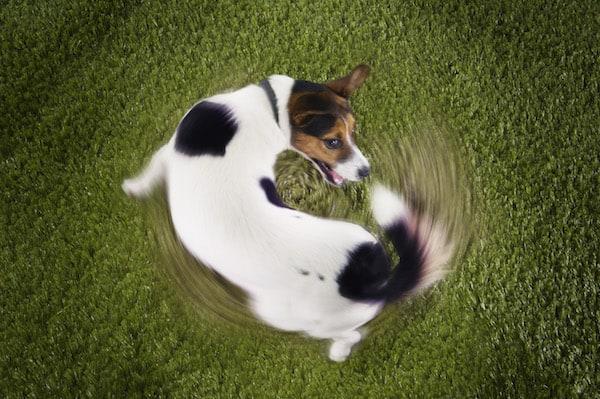 Warum jagt ein Hund seine Rute