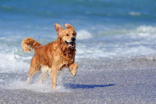 Warum riecht ein nasser Hund