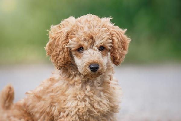 Diese Hunde Haben Deutlich Mehr Unterwolle Als Deckhaar Dieses Fell Wchst Sehr Stark Und Kann Daher Lang Werden Um Eine Ausreichende