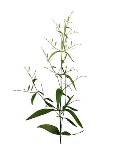 Die Pflanze Soll Leber Und Atemwege Schtzen Entzndungshemmend Blutreinigend Sein Sowie Ein Insgesamt Geschwchtes Immunsystem Strken