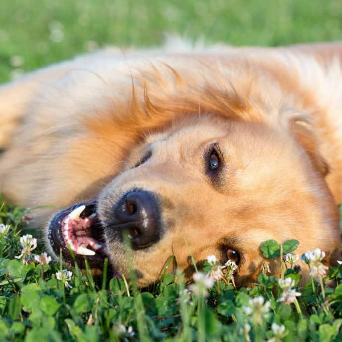 Lachsöl für den Hund - Glänzendes Fell